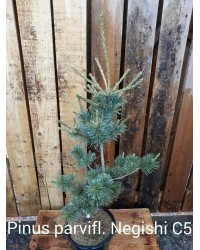 Сосна мелкоцветная - Pinus parviflora Negishi (высота 20-30см, горшок 5л)