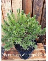 Сосна горная - Pinus mugo Winter Gold (диаметр 40-50 см, горшок 12л)