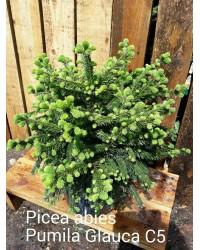 Ель обыкновенная - Picea abies Pumila Glauca (диаметр 60 см, горшок 7.5л)