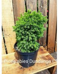 Ель обыкновенная - Picea abies Dundanga (диаметр 20-30 см, горшок 5л)