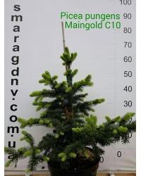 Ель колючая - Picea pungens Maigold (высота 60см, горшок 10л)