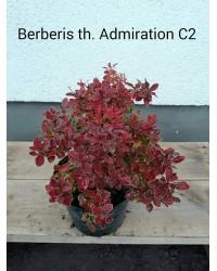 Барбарис - Berberis thunbergii Admiration R (высота 15-25см.горшок С2л)