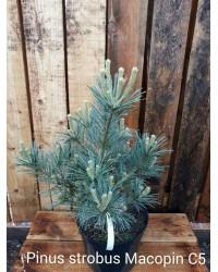 Сосна веймутовая - Pinus strobus Macopin (высота 20-30см, горшок 5л)