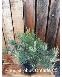 Сосна веймутовая - Pinus strobus Ontario (высота 30-40см, горшок 5л)