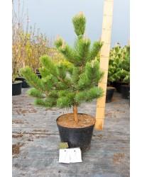 Сосна чёрная - Pinus nigra Oregon Green (высота 120 см, горшок 20л)