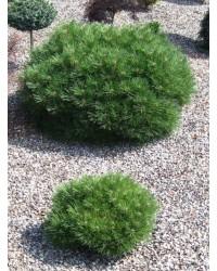 Сосна черная - Pinus nigra Breppo (діаметр 40-50см, горшок 10л) Сосна SmaragdNV - інтернет магазин розсадника декоративних рослин Красивое растение благодаря своей форме подчеркнет строгость английского сада.