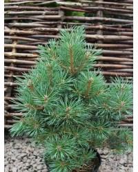 Сосна обыкновенная - Pinus sylvestris Frensham (высота 30-40см, горшок 10л) Сосна SmaragdNV - інтернет магазин розсадника декоративних рослин Медленнорастущий шотландский сорт сосны обыкновенной с округлой формой кроны.