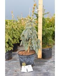 Ель колючая- Picea pungens The Blues (высота 90-110см, горшок 15л)