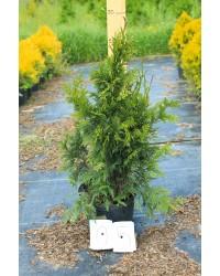 Туя складчатая - Thuja plicata Can-Can (высота 60-80см, горшок 7,5л) Туя SmaragdNV - інтернет магазин розсадника декоративних рослин Thuja plicata Can-Can - очень красивое небольшое вечнозеленое дерево, высотой до 1,5 м.