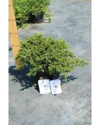 Можжевельник обыкновенный - Juniperus communis Green Carpet (диаметр 25-35см, горшок 3л)