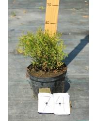 Туя западная - Thuja occidentalis Tiny Tim (диаметр 25-35см, горшок 5л) Туя SmaragdNV - інтернет магазин розсадника декоративних рослин Thuja occidentalis Tiny Tim - очень медленно растущий, карликовый вечнозеленый куст с шаровидной, тонко разветвленной кроной.