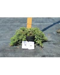 Можжевельник горизонтальный - Juniperus horizontalis Wiltonii (діаметр 20-40см, горшок 5л)