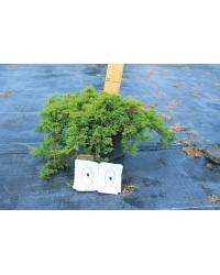 Можжевельник горизонтальный - Juniperus horizontalis Prince of Wales (диаметр 30-40 см, горшок 5л)
