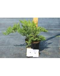 Можжевельник Казацкий - Juniperus sabina Tamariscifolia (диаметр35-45см, горшок С5л)