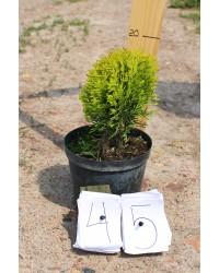 Туя западная - Thuja occidentalis Mirijam (диаметр 15-20 см, горшок 3л)