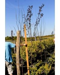 Слива - Prunus cerasifera Pissardii (Pa 130-150см) Слива SmaragdNV - інтернет магазин розсадника декоративних рослин Prunus cerasifera Pissardii - небольшое дерево с широкой раскидистой кроной до 6 - 10 м высотой и такой же шириной.