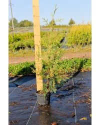 Туя западная - Thuja occidentalis Brabant (высота 40см, горшок 3л) Туя SmaragdNV - інтернет магазин розсадника декоративних рослин Thuja occidentalis Brabant - вечнозеленое дерево колоновидной формы.