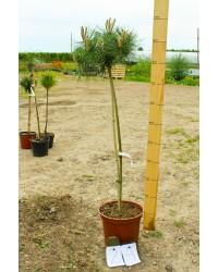 Сосна густоцветная - Pinus densiflora Low Glow (Pa 60-70см, горшок 7.5л)