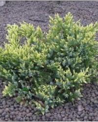 Можжевельник чешуйчатый - Juniperus squamata Dream Joy (диаметр 40см, горшок 5л)