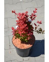 Барбарис - Berberis thunbergii Red Compact (горшок C 3, диаметр D 15-20)