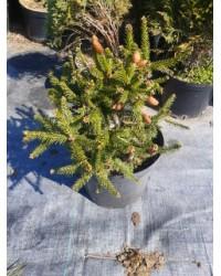 Ель обыкновенная - Picea abies Push (горшок C 5, диаметр D 30)