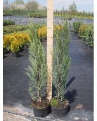 Можжевельник скальный - Juniperus scopulorum Blue Arow (высота 100 см, горшок 5л)