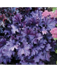 Гейхера - Heuchera Forever Purple (горшок C2)