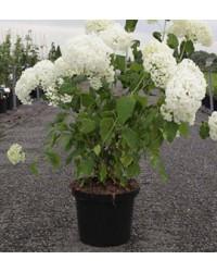 Гортензия - Hydrangea arborescens Anabelle (горшок C 12, высота H 90-120)