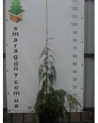 Кипарисовик нутканский - Chamaecyparis notk.Pendula (горшок C 7.5, высота H 50-70)