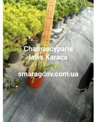 Кипарисовик Лавсона - Chamaecyparis lawsoniana Karaca (высота H 70-80, горшок C 7,5)