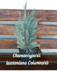 Кипарисовик - Chamaecyparis lawsoniana Columnaris (высота 30-40см,С3)