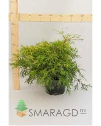 Кипарисовик - Chamaecyparis pisifera Filifera Aurea (диаметр 30-40см) Кипарисовик SmaragdNV - інтернет магазин розсадника декоративних рослин Высота растения: 0,4-0,6 мОписание: ширококонический кустарник, достигающий в 5 лет 2 м в высоту.