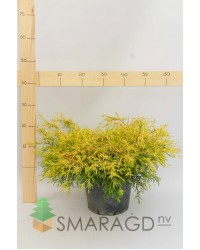 Кипарисовик - Chamaecyparis pisifera Sungold (диаметр 20-30см,С3)