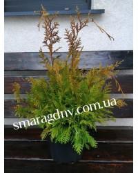 Кипарисовик горохоплодный- Chamaecyparis pisifera White Beauty (высота D 15-25, горшок C 5)