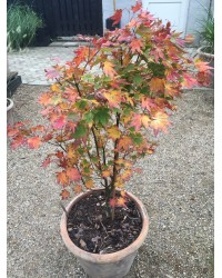 Клен-Acer palmatum Katsura (H 120-150см,контейнер 20л)