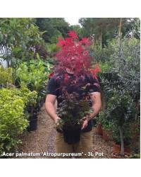 Клен-Acer palmatum Atropurpureum (H 40-60см,контейнер 5л)