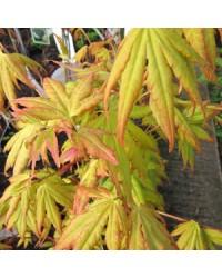 Клен японский-Acer palmatum Orange Dream (H 20-30см,контейнер 2л)