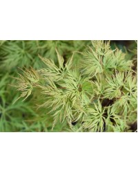 Клен-Acer palmatum Emerald Lace (H 20-30см,контейнер 2л)