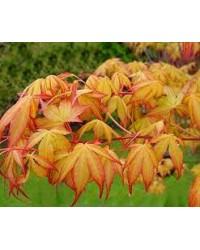Клен-Acer palmatum Katsura (H 20-30см,контейнер 2л)