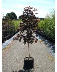 Клен - Acer platanoides Crimson King (высота Pa 200-220, горшок C 30)