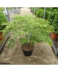 Клен японский - Acer palmatum Dissectum (высота 80-90см, горшок 15л)