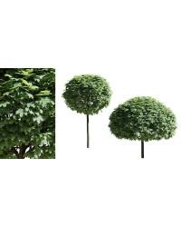 Клен - Acer platanoides Globosum (горшок C 35, высота Pa 80-100)
