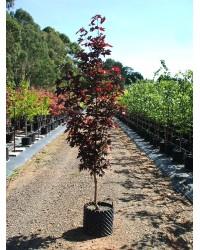 Клен Acer platanoides Crimson Sentry (С20 H 180-220см) Клен SmaragdNV - інтернет магазин розсадника декоративних рослин Общие характеристикиДерево средних размеров с компактной пирамидальной кроной.