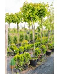 Клен - Acer platanoides Globosum (горшок C 30/40, высота Pa 200-220)