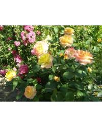 Роза - Rosa in sorte (куст) (высота 30-40см, горшок 5л) Роза SmaragdNV - інтернет магазин розсадника декоративних рослин Кустарниковыерозы.