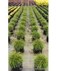 Туя складчатая - Thuja plicata Wipcort (высота D 20-30, горшок C 3) Туя SmaragdNV - інтернет магазин розсадника декоративних рослин Чешуевидная хвоя, поникающие нитевидные побеги, форма кроны.