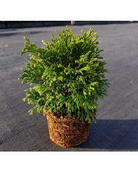 Туя западная - Thuja occidentalis Green Buble (высота D 15-25, горшок C 3)