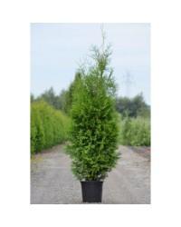 Туя западная - Thuja occidentalis Brabant (высота 100+ см, горшок 7.5л) Туя SmaragdNV - інтернет магазин розсадника декоративних рослин Брабант -дерево, высотой 4-5 метров и диаметром кроны до 1,5 метров.