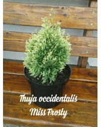 Туя западная - Thuja occidentalis Miss Frosty ® (высота D 15-20, горшок C 3) Туя SmaragdNV - інтернет магазин розсадника декоративних рослин Медленно растущий кустарник, вначале шаровидной, зетем ширококонусовидной формы.