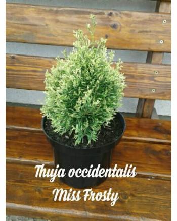 Туя западная - Thuja occidentalis Miss Frosty ® (высота D 15-20, горшок C 3)